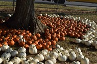 Pumpkins surrounding a tree