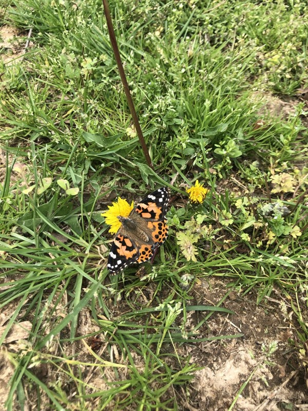 Preschool Teacher Shannon Shelton's butterfly landed on a dandelion and stayed there for a long time